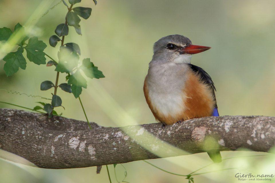 Graukopfliest - Grey-headed kingfisher - Halcyon leucocephala