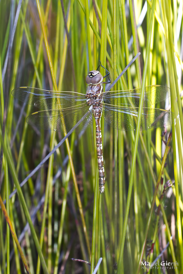 Blue Spotted Hawker (Adversaeschna brevistyla)