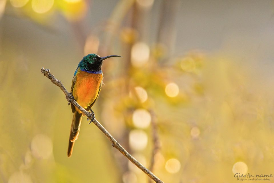 Sunbird in Capetown