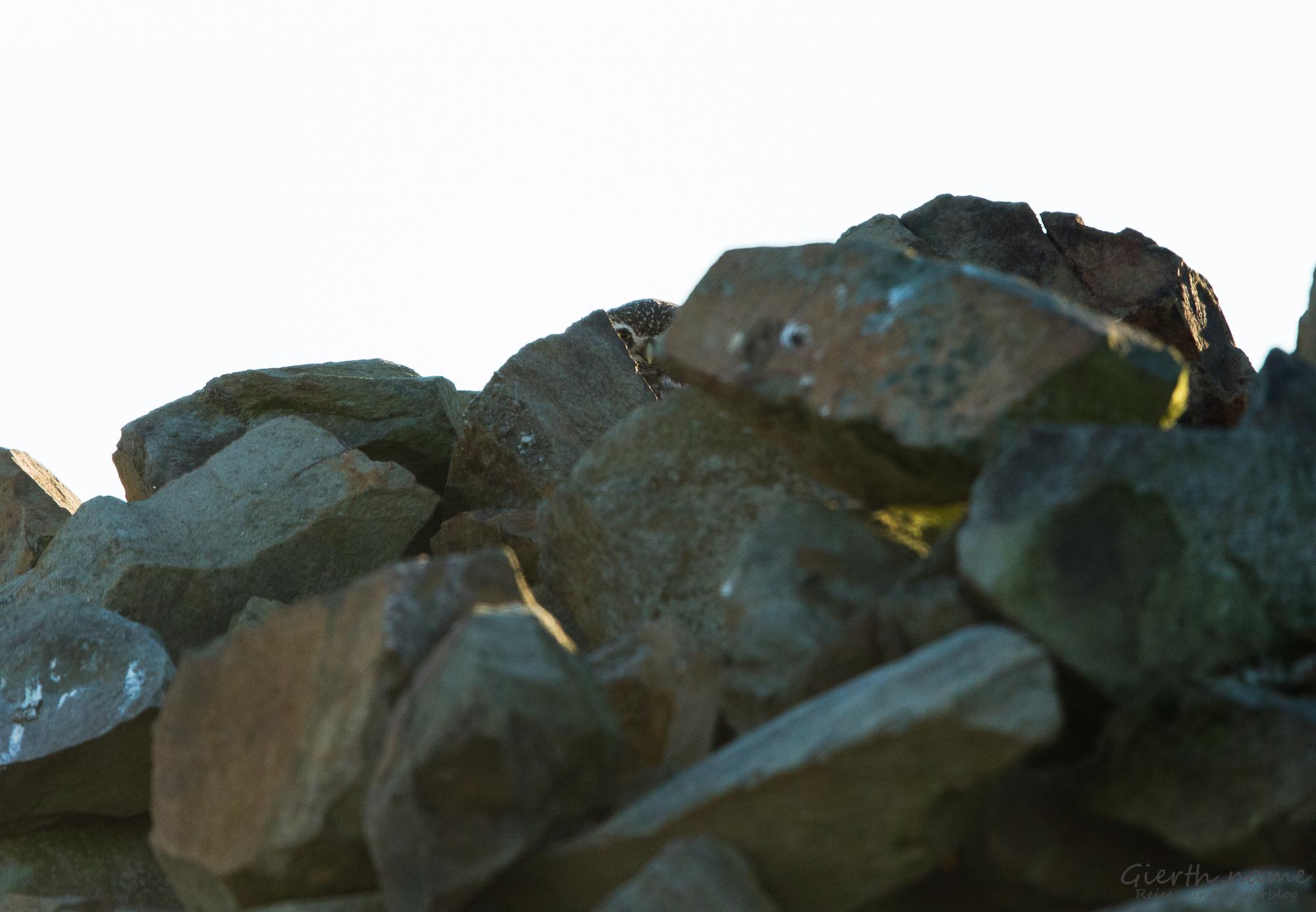 Steinkauz beobachtet uns beim Trappen fotografieren