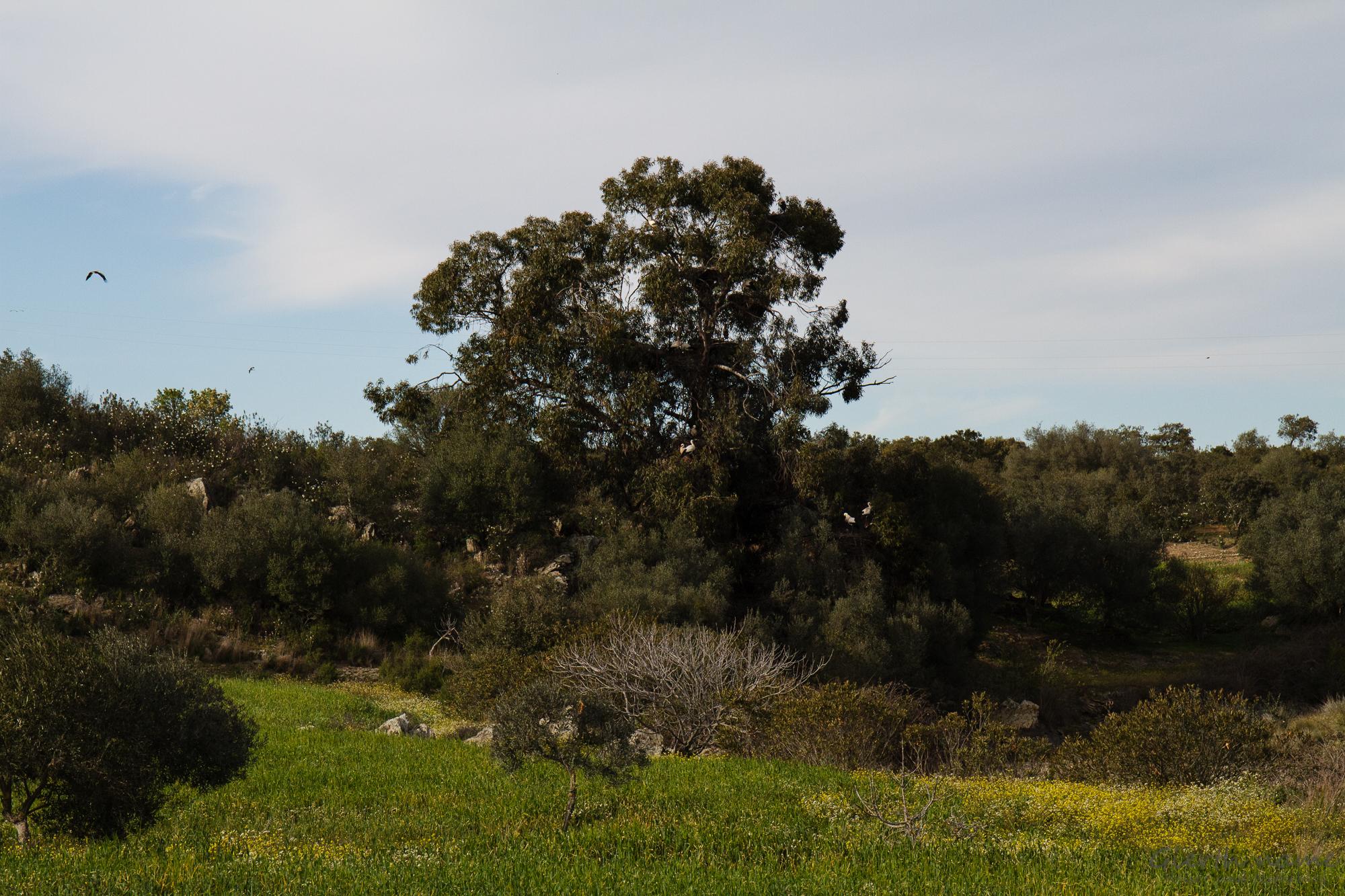 Castro Verde, Baum mit brütenden Störchen
