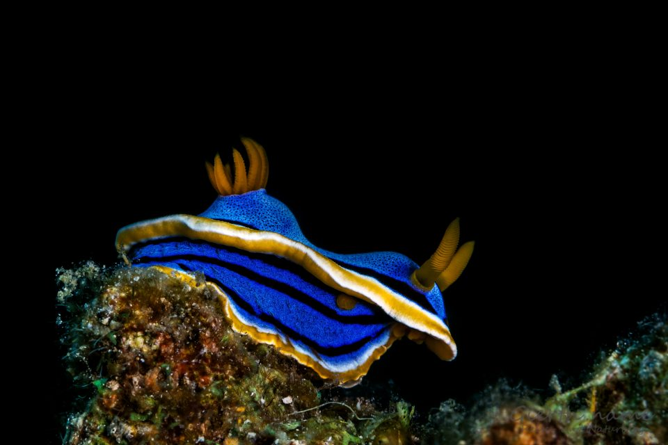 Chromodoris annae - Annas Chromodoris