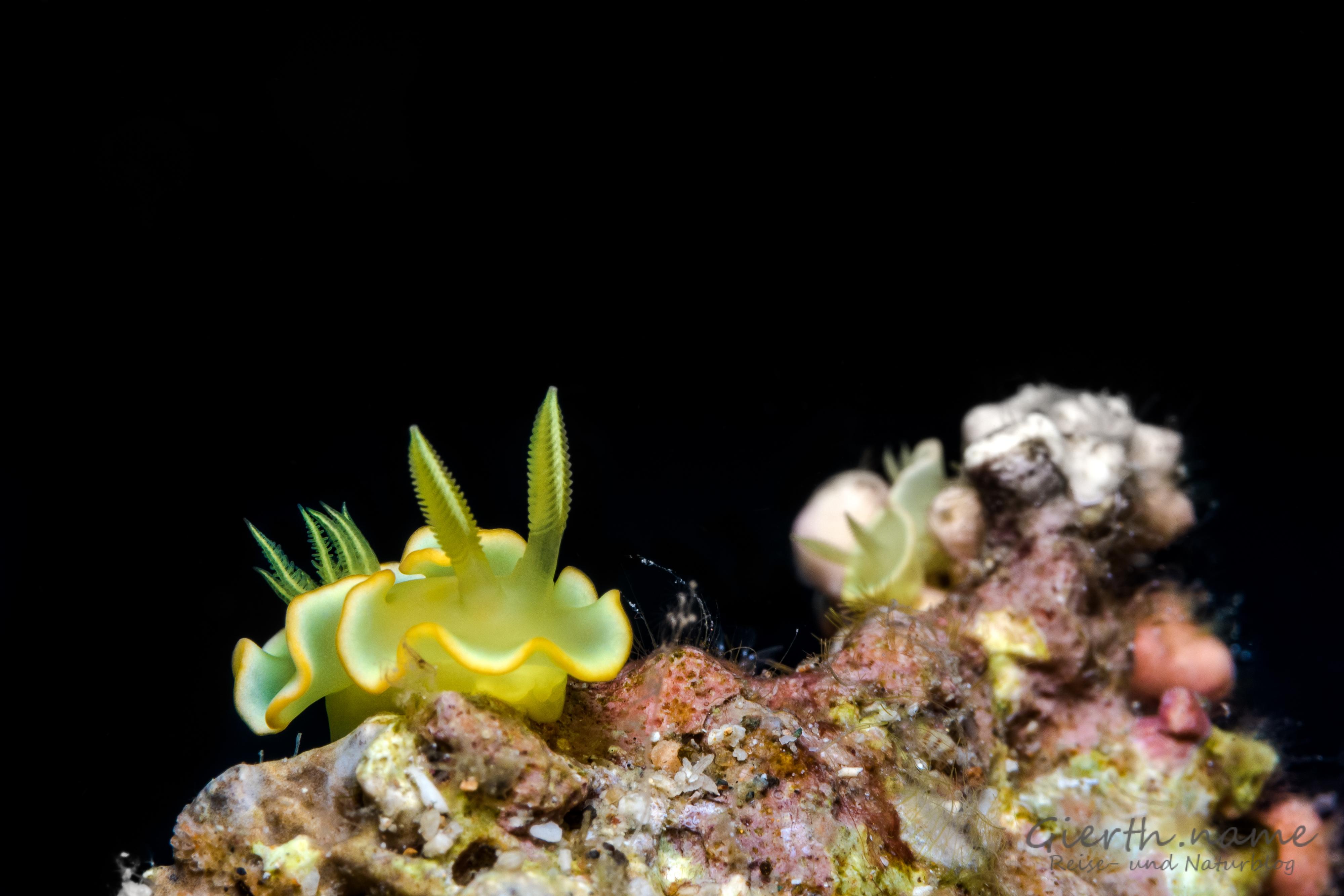Diversidoriscrocea früher Noumea crocea