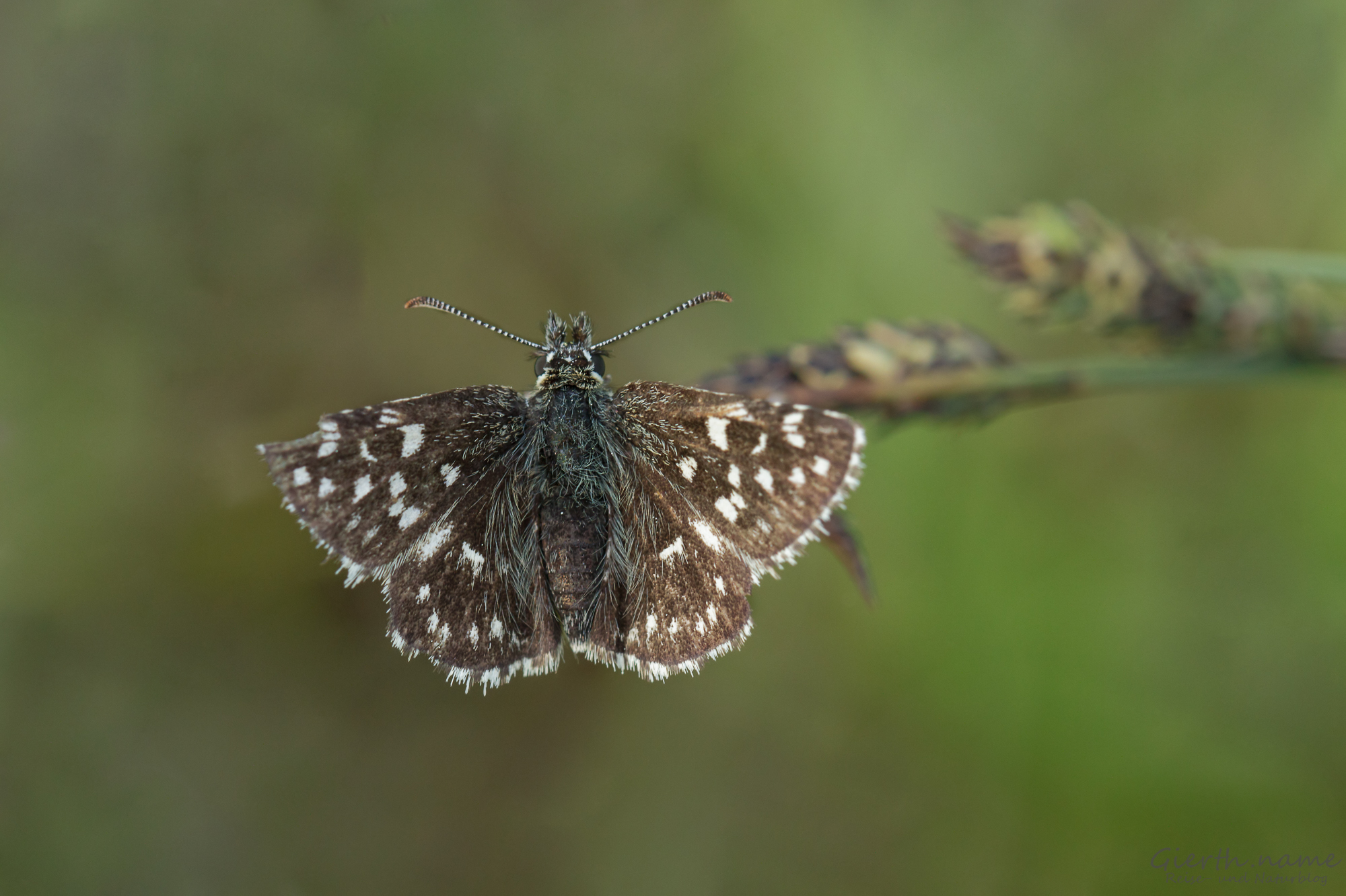 Kleiner Würfel-Dickkopffalter - Pyrgus Malvae