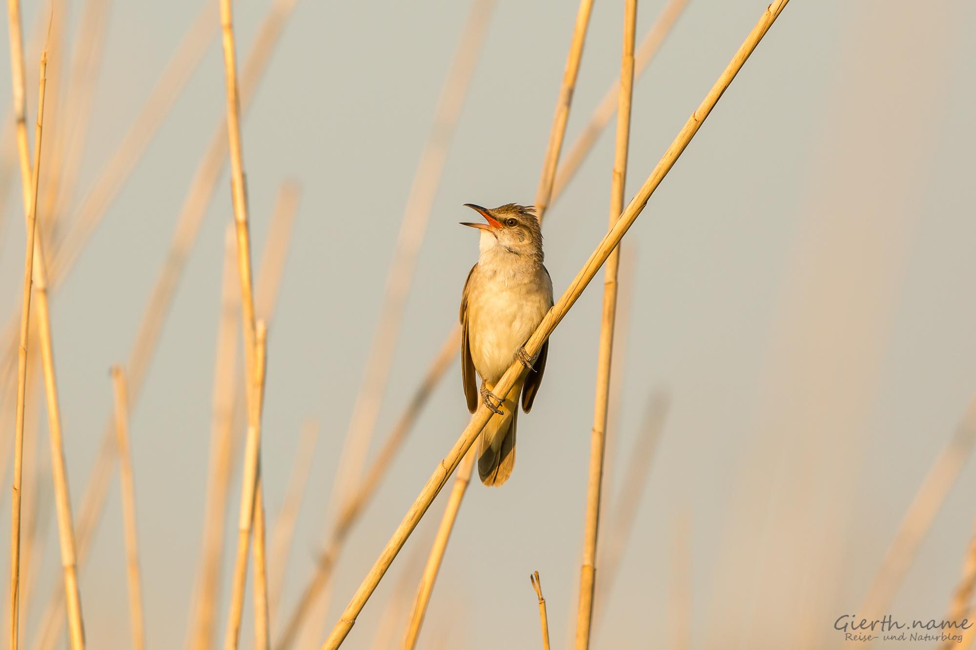 Drosselrohrsänger - Great Reed-Warbler - Acrocephalus arundinaceus