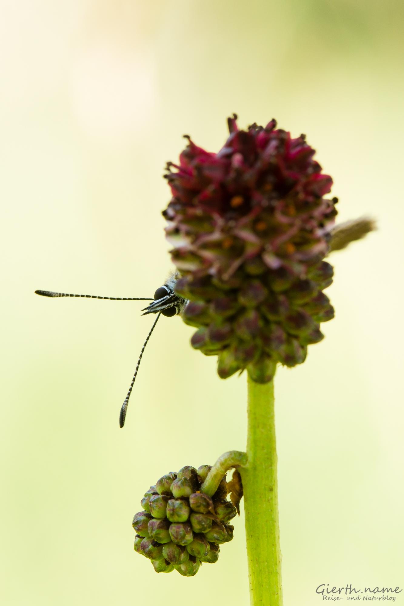 Dunkler Wiesenknopf-Ameisenbläuling - Phengaris nausithous - bei der Eiablage