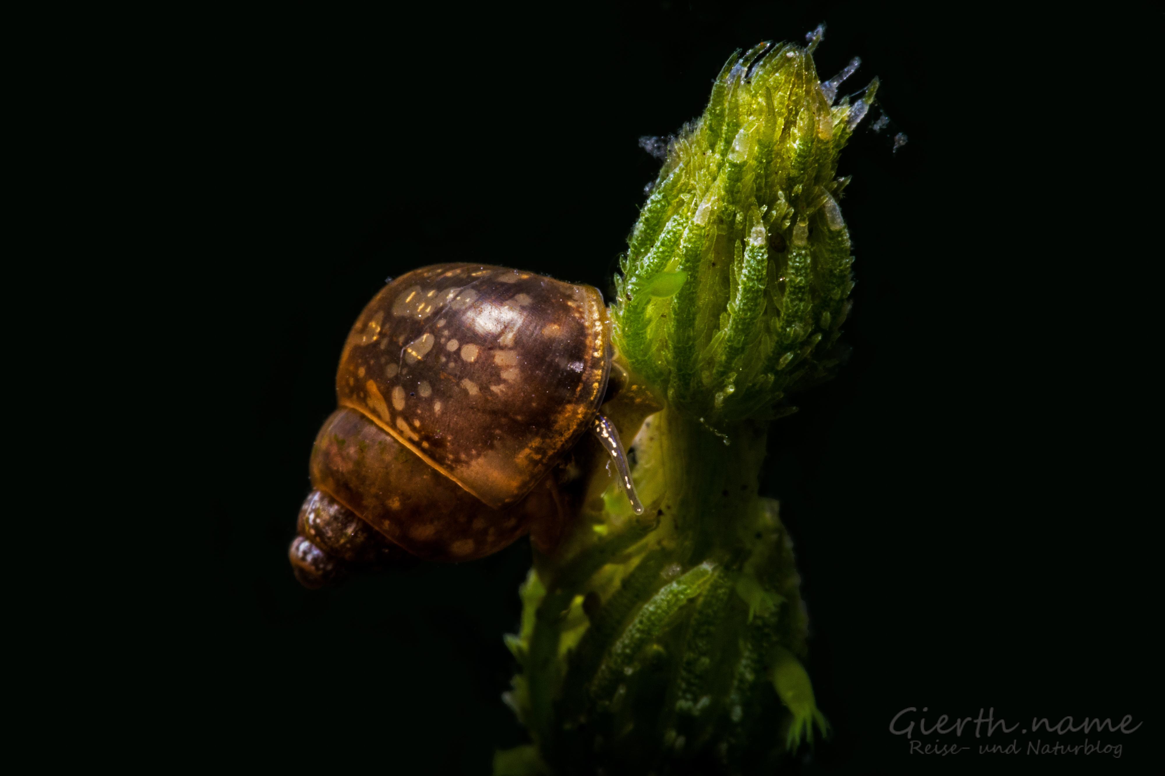 Vermutlich Gemeine Schnauzenschnecke - Bithynia tentaculata