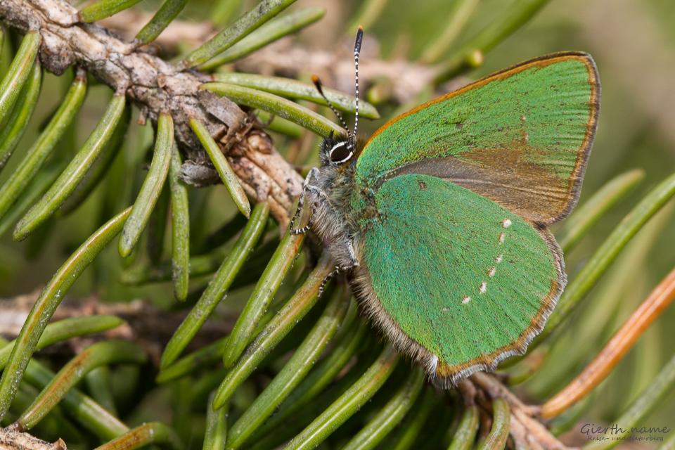 Grüner Zipfelfalter