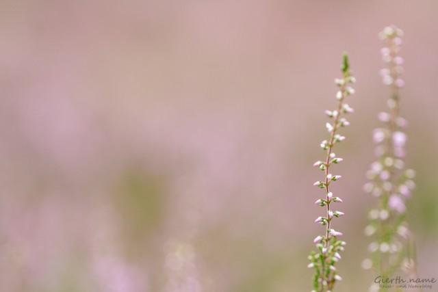 Die Heide blüht im Eglinger Filz
