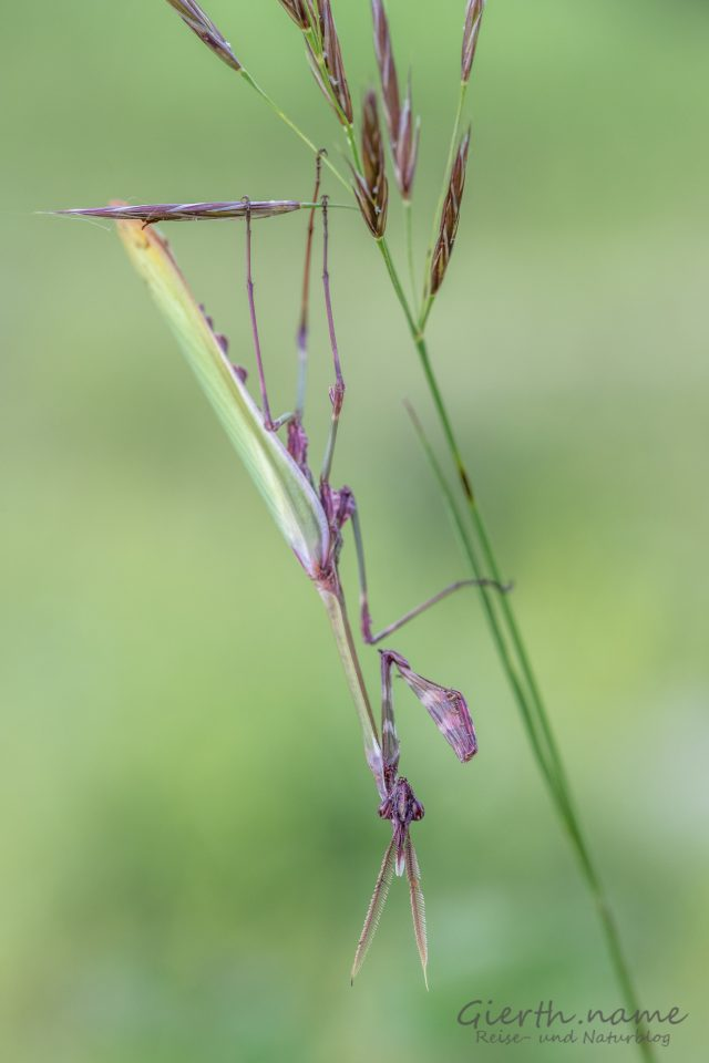 Haubenfangschrecken - Empusa pennata