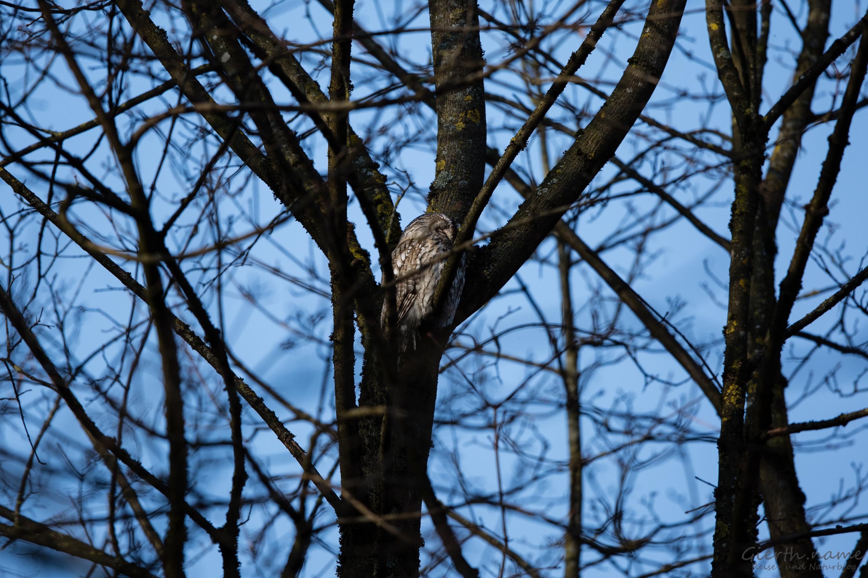 Waldkauz Altvogel passt auf seine Ästlinge auf