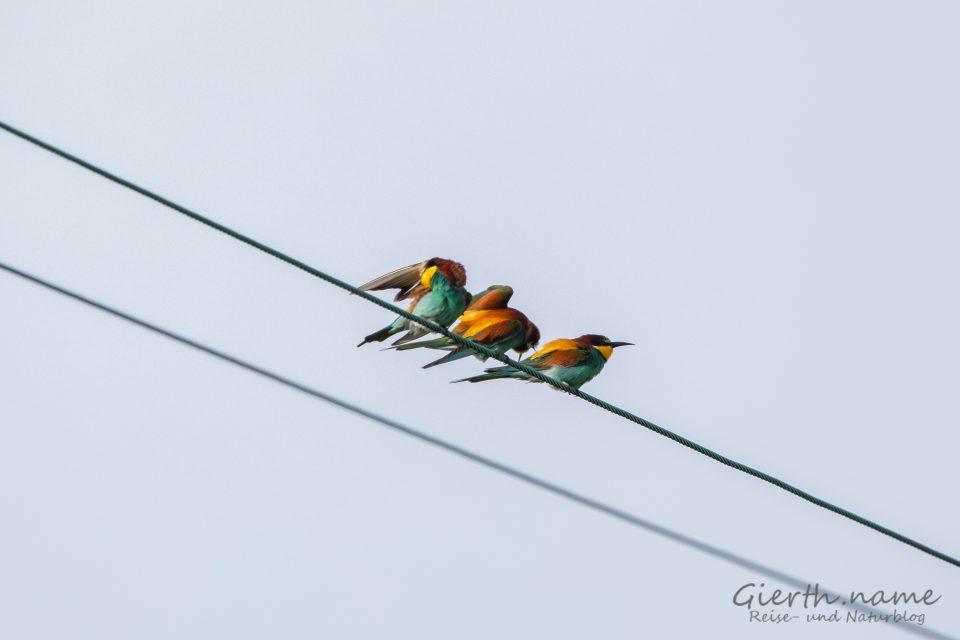 Europäischer Bienenfresser  (European bee-eater  - Merops apiaster) auf dem Durchzug in die Sommerquartiere