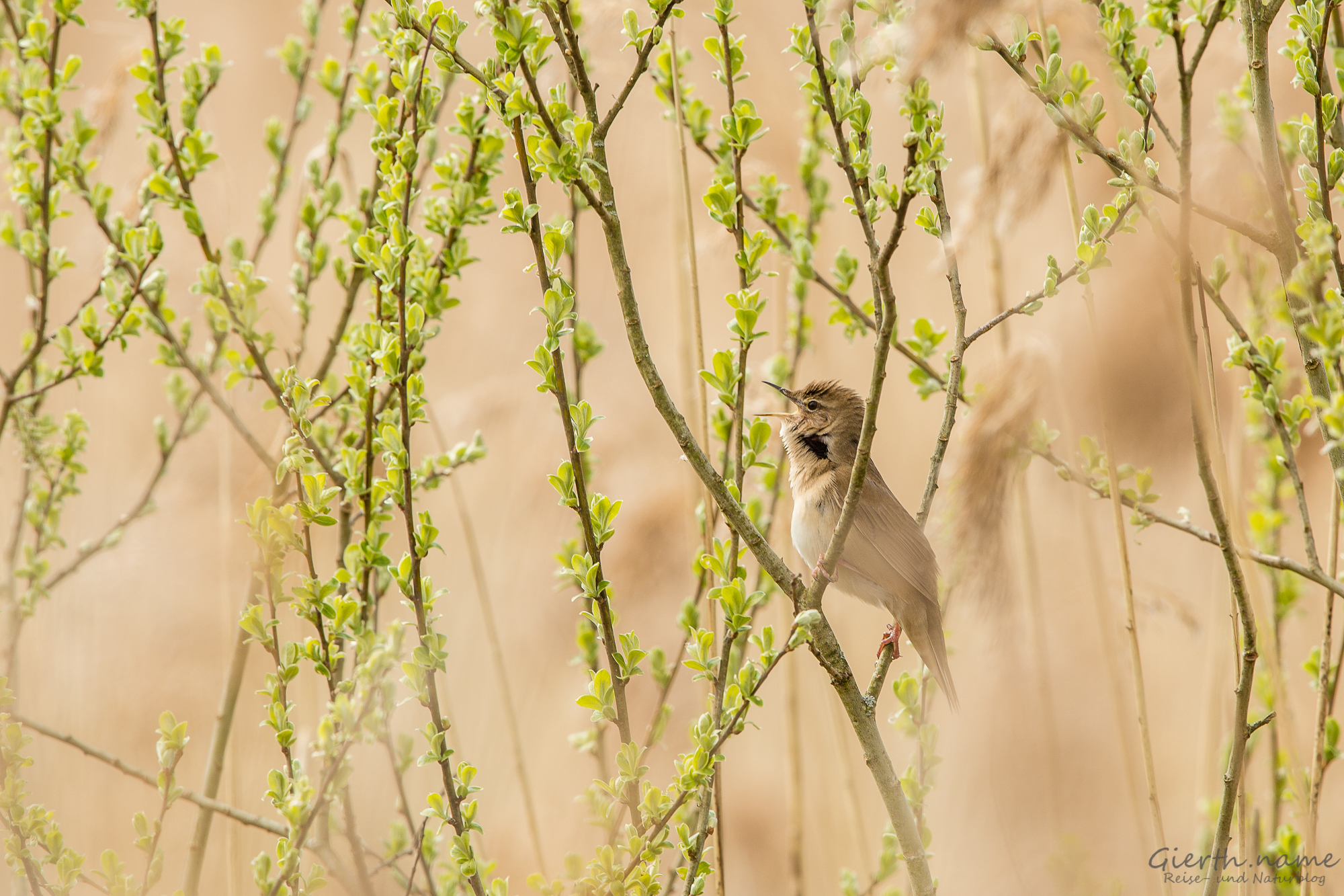 Der Rohrschwirl – Savi's Warbler – Locustella luscinioides luscinioides