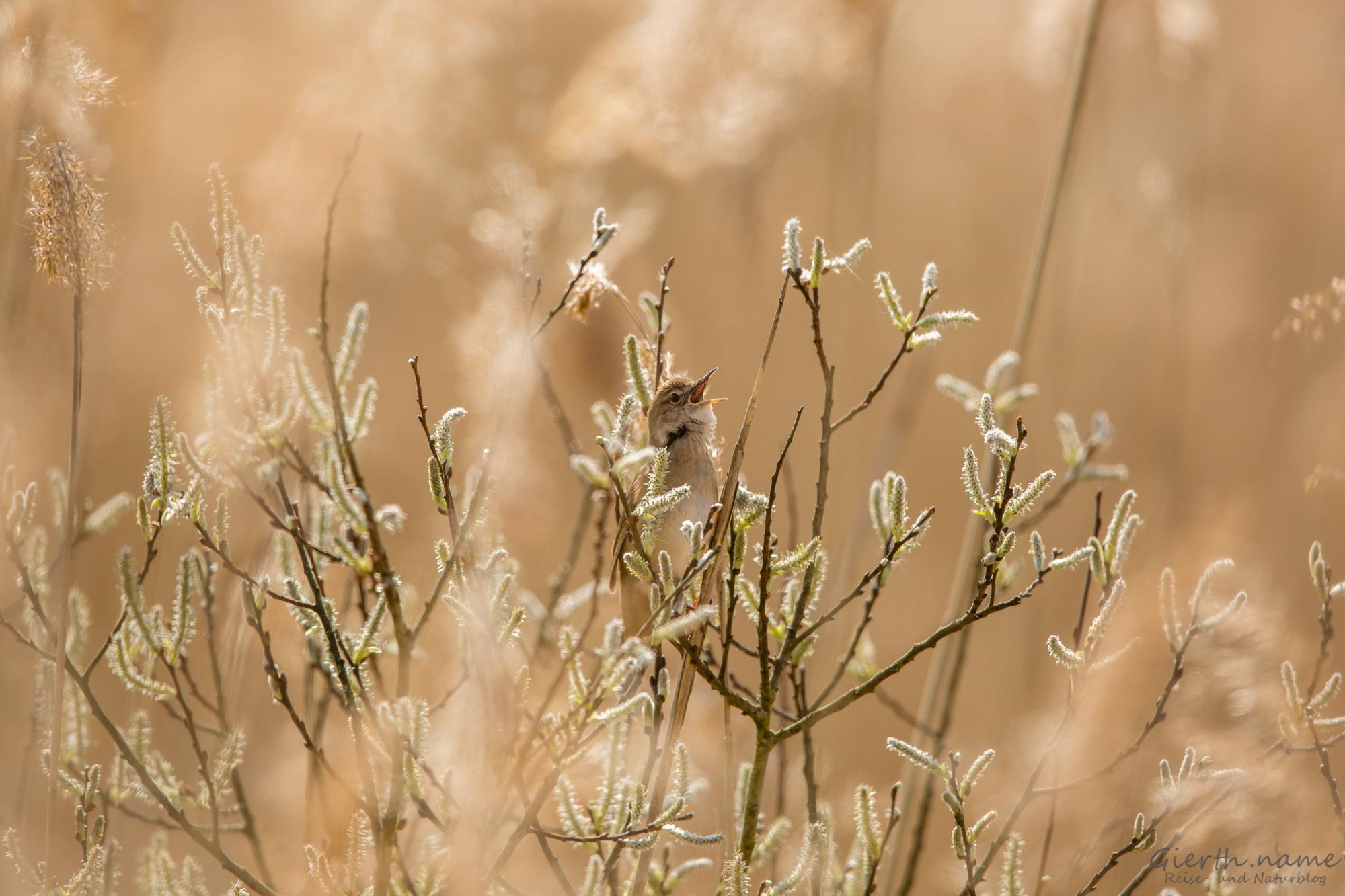 Locustella luscinioides luscinioides - Rohrschwirl - Sabi's warbler
