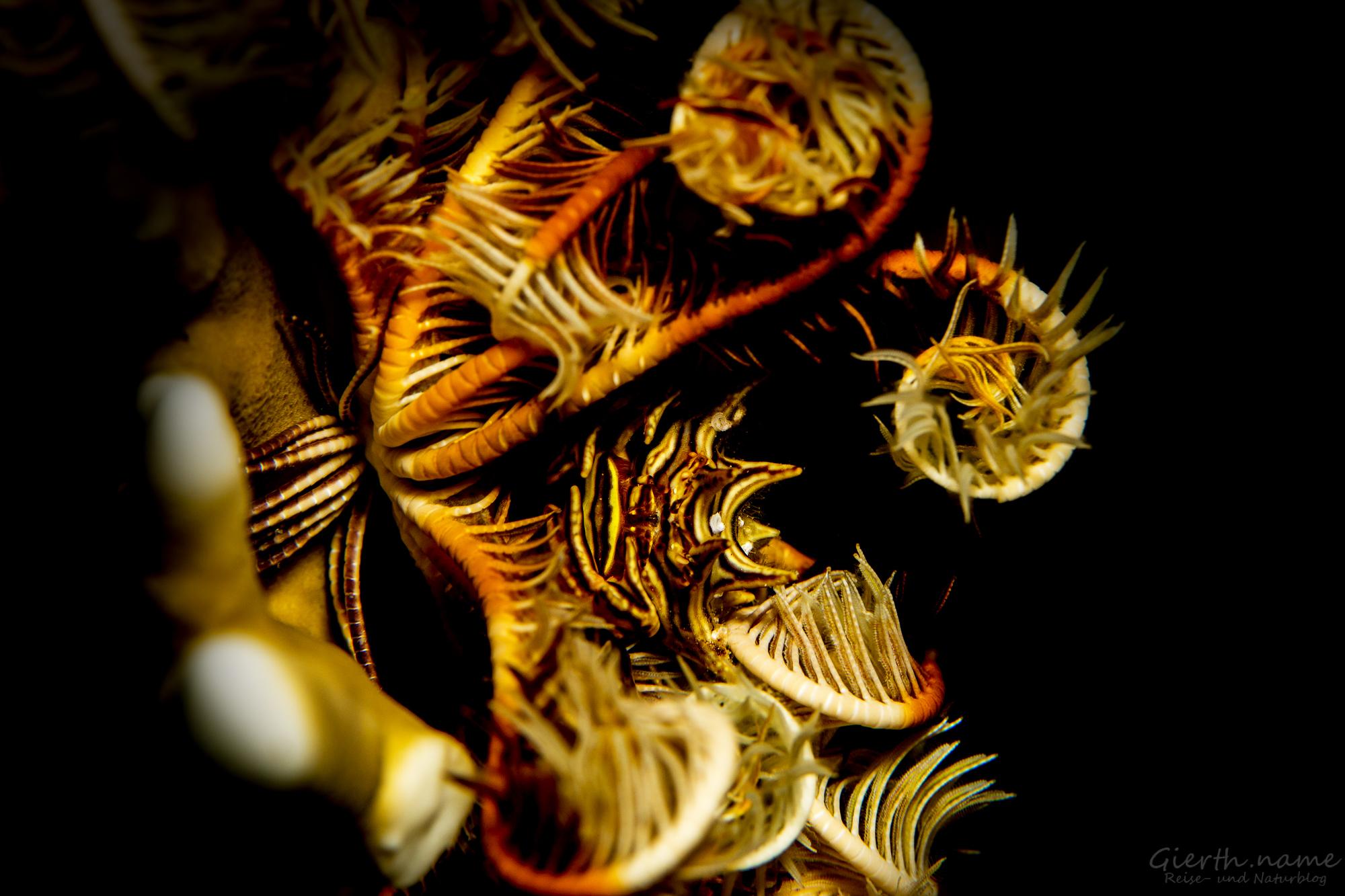 Federstern-Krabbe in ihrem Federstern
