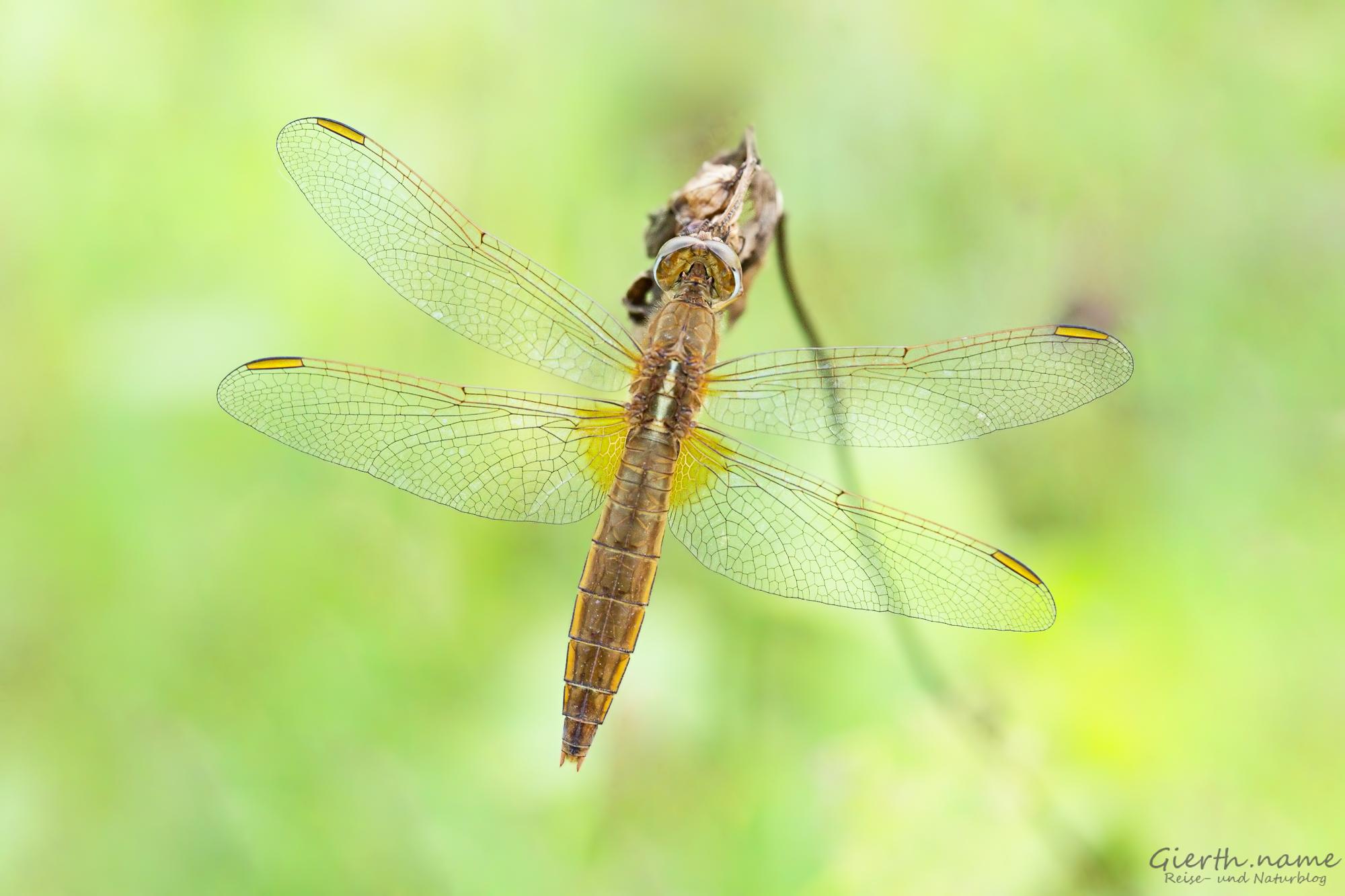 Feuerlibelle - Crocothemis erythraea