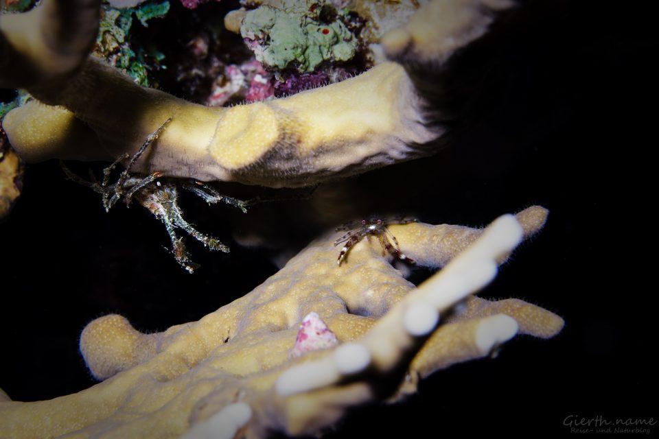 Spider Gost Crab