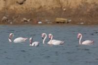 Schwimmende Flamingos