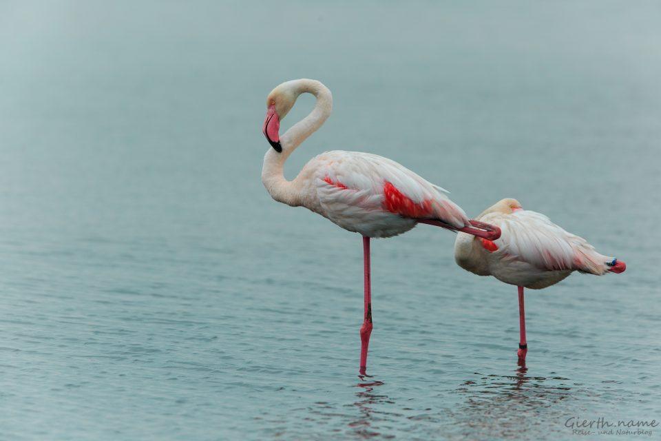 Flamingos bei Comacchio