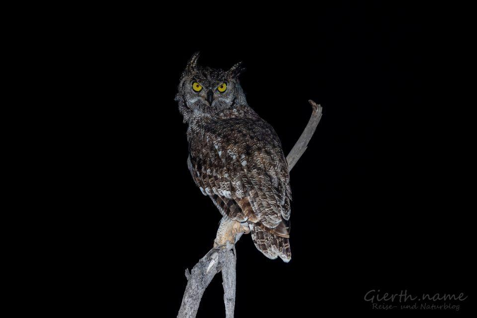 Fleckenuhu - Spotted eagle-owl - Bubo africanus