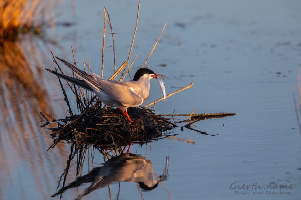 Fluss-Seeschwalbe (Sterna hirundo, Common Tern) im Podelta