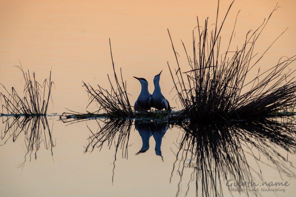 Fluss-Seeschwalben (Sterna hirundo, Common Tern)