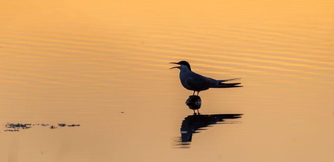 Fluss-Seeschwalbe - Sterna hirundo - Common Tern, italien, Podelta