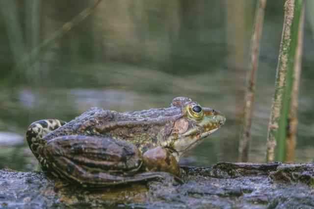 Der Froschkönig nimmt kein gutes Ende
