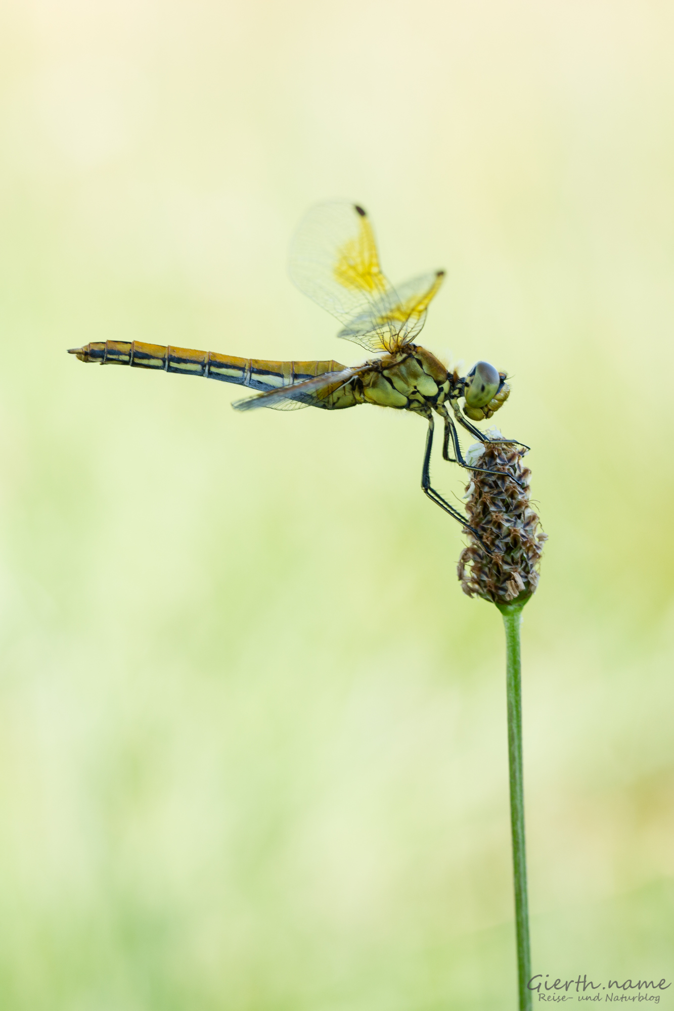 Gefleckte Heidelibelle (Sympetrum flaveolum)