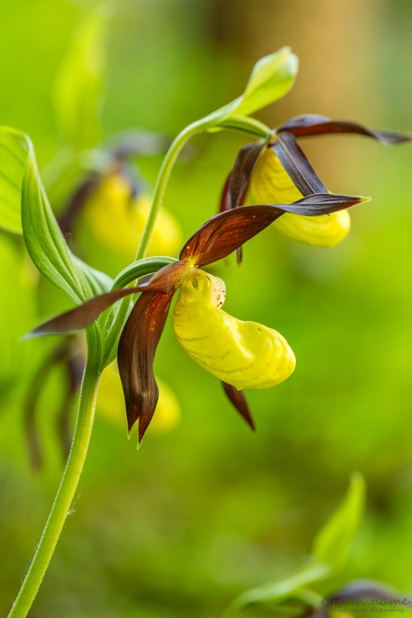 Gelber Frauenschuh - Cypripedium calceolus