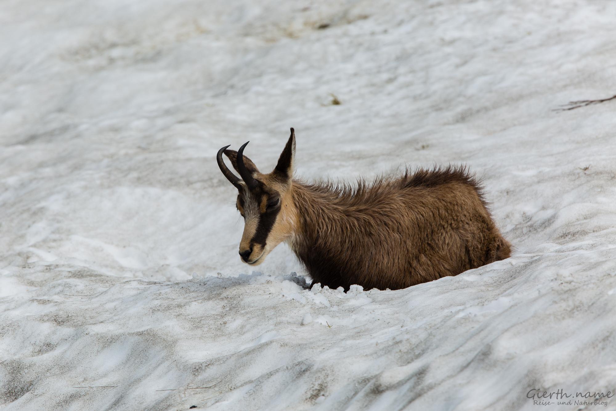 Gämse auf dem Schneefeld
