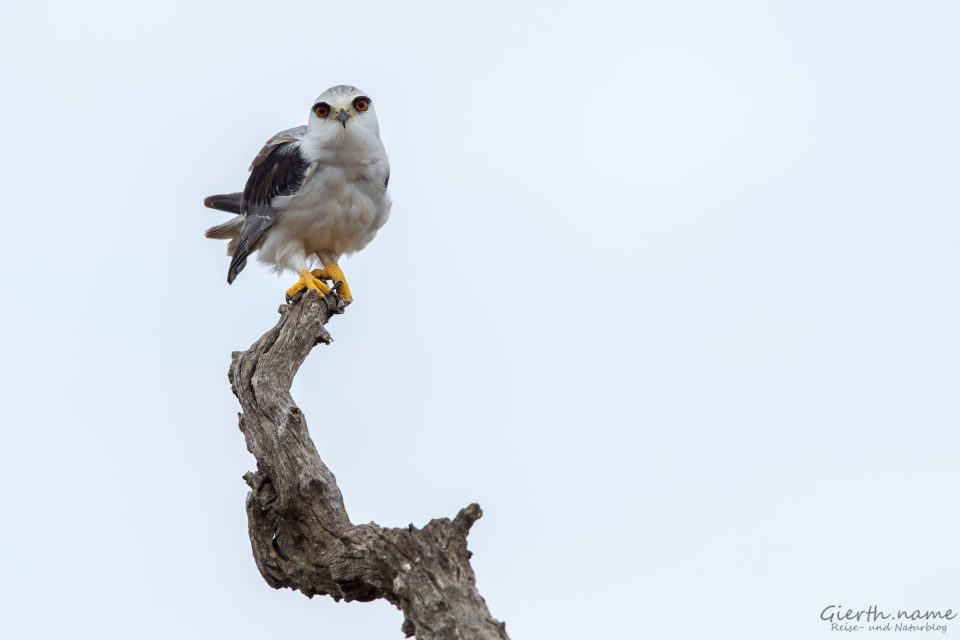 Gleitaar - Black-Shouldered Kite - Elanus caeruleus