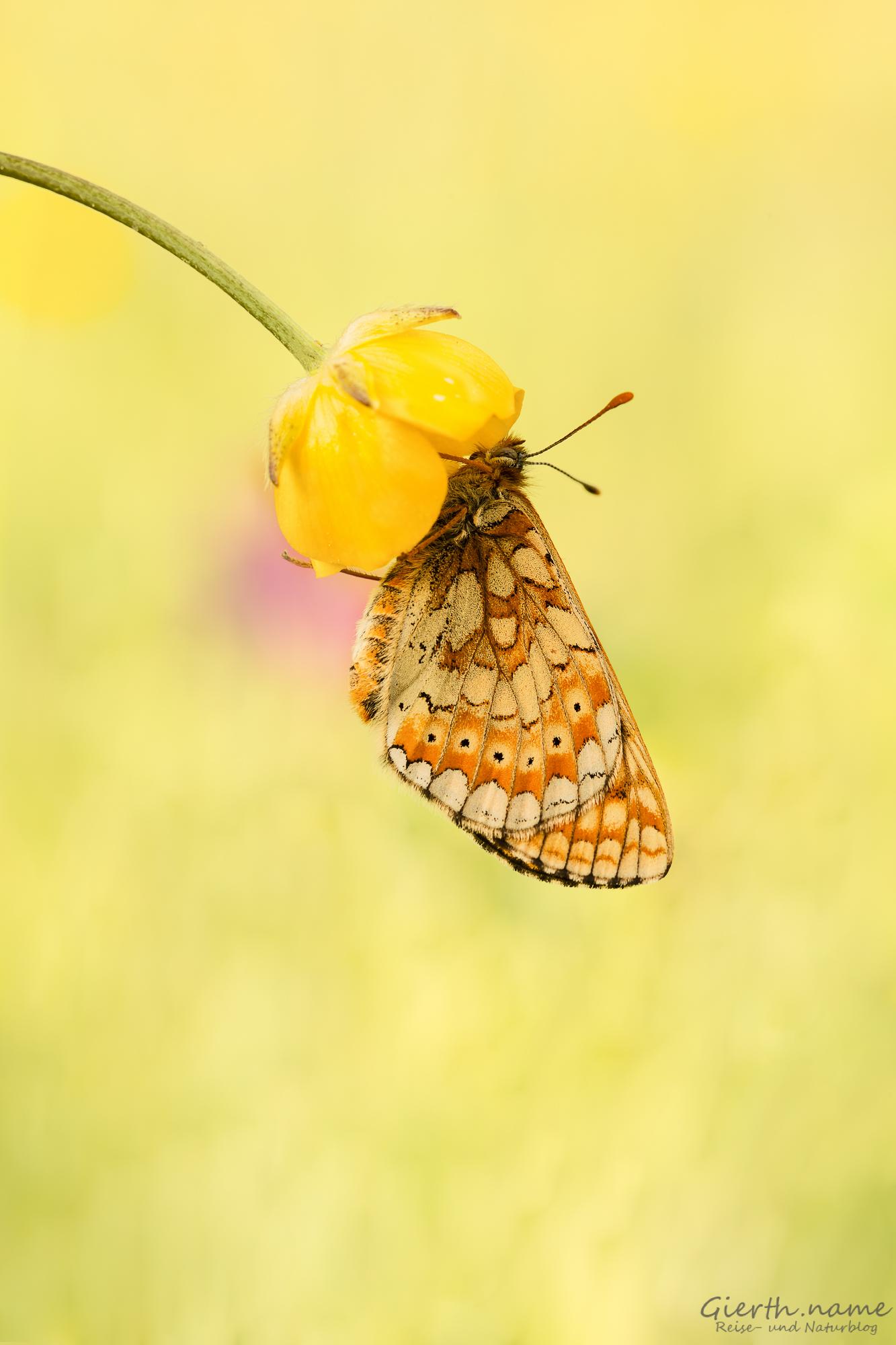 Goldener Scheckenfalter Euphydryas aurinia