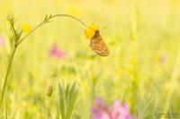 Goldener Scheckenfalter