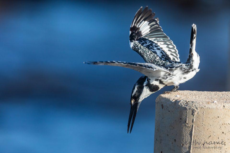 Graufischer - Pied Kingfisher - Ceryle rudis