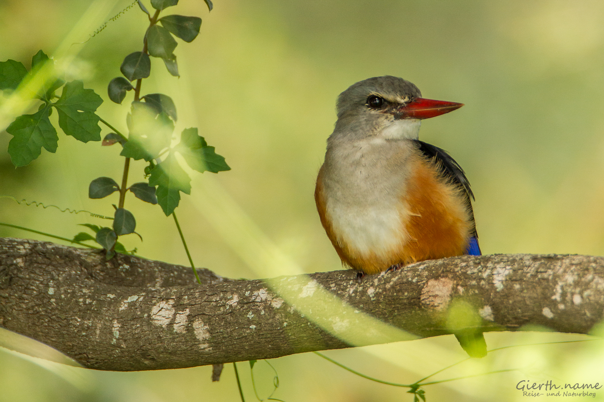 Graukopfliest - Grey-headed kingfisher - Halcyon leucocephala