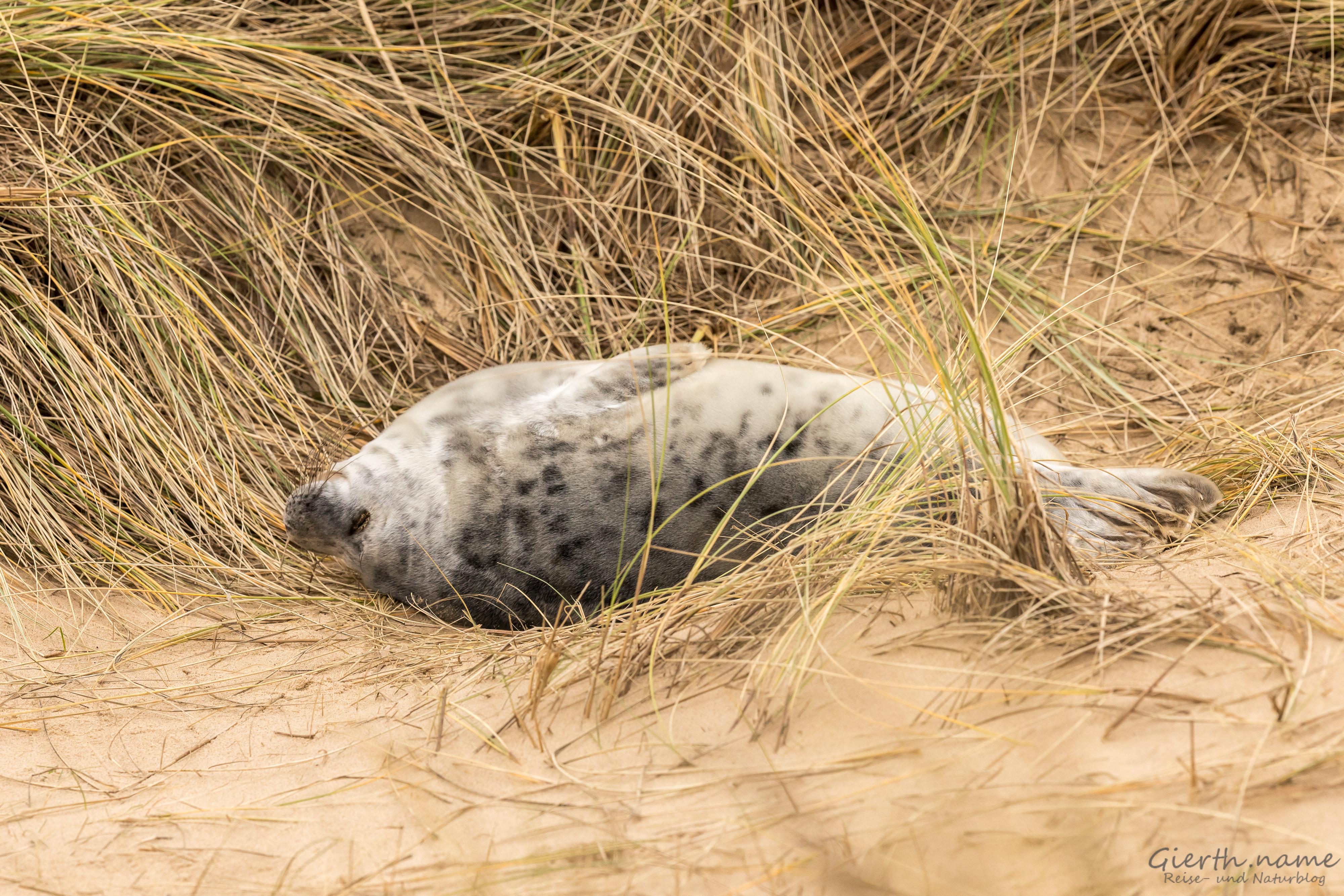 Junge Robbe pennt in den Dünen