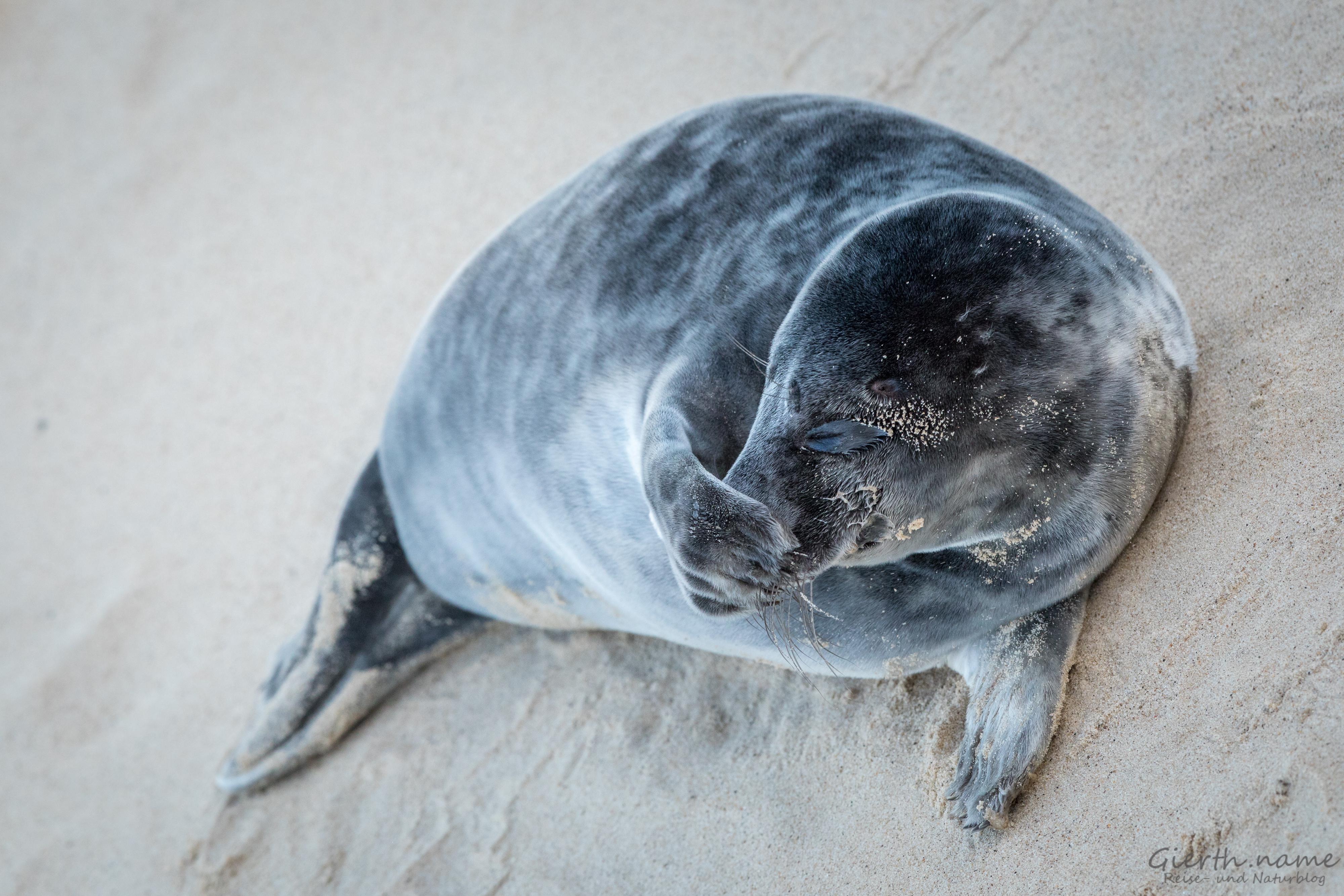 Noch mehr Robbenbilder aus England