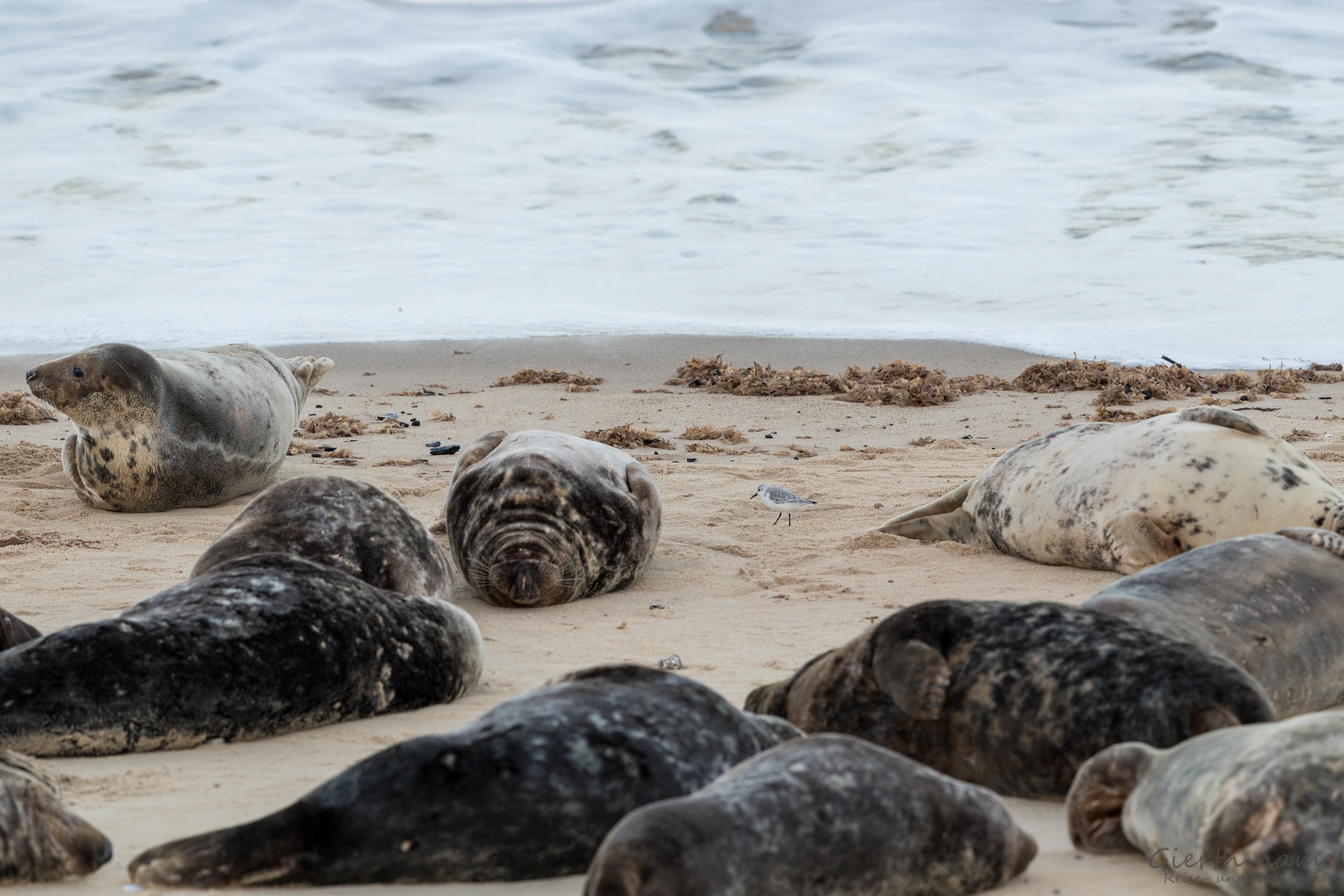 Sanderling zwischen Robben