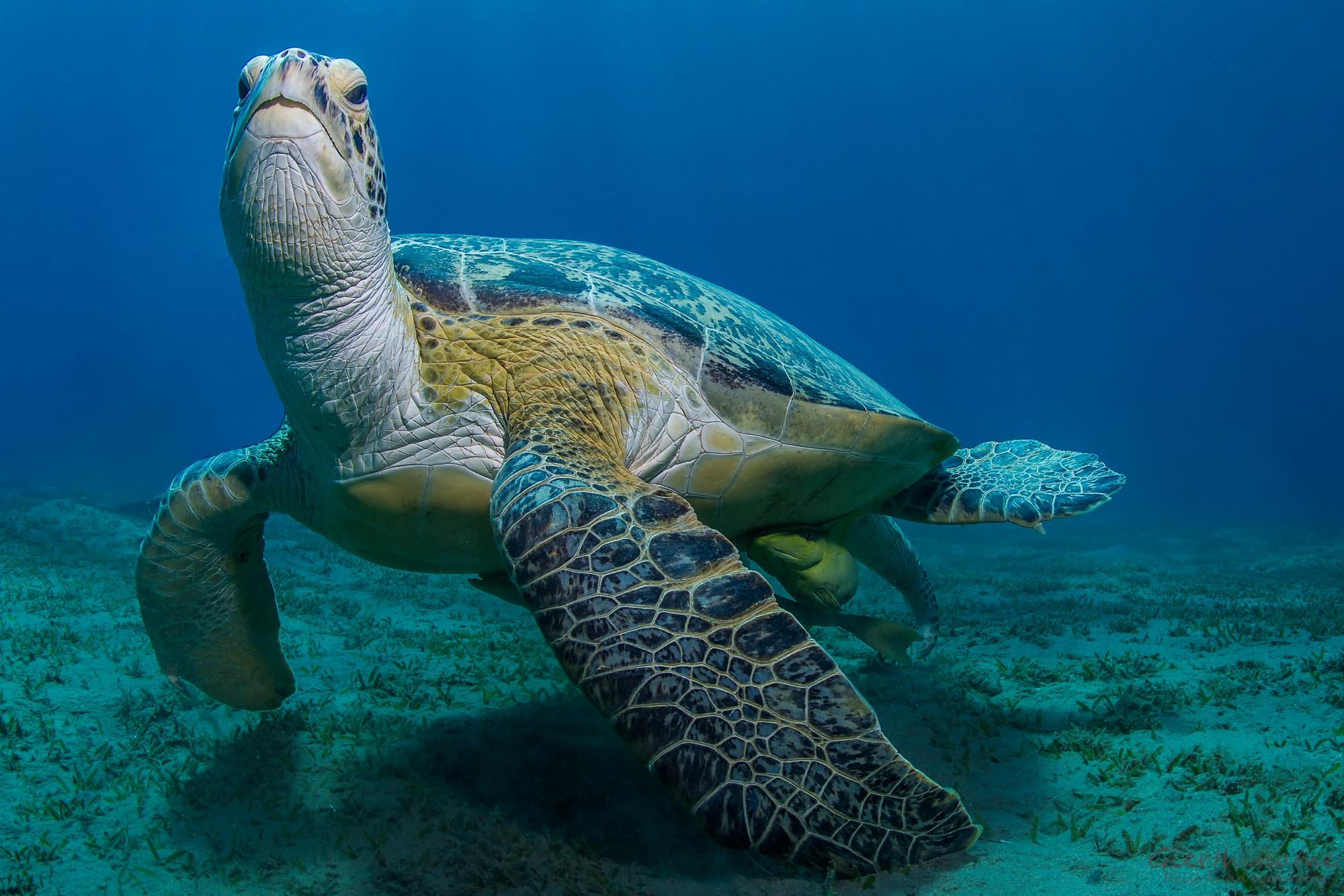 Abu Dabab – Spaß mit Schildkröten