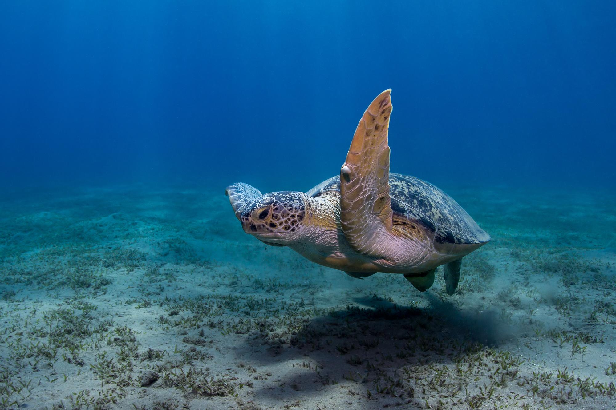 Grüne Schildkröte Abu Dabab