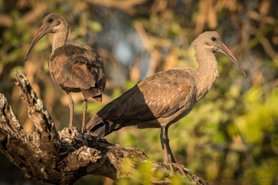 Hagedasch - Hadada Ibis