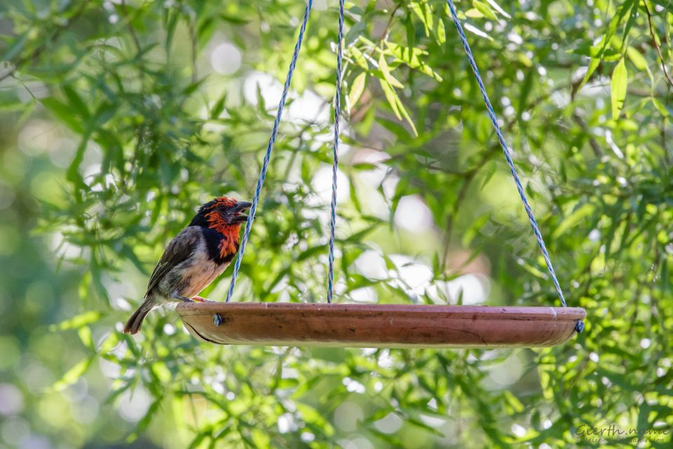 Halsband-Bartvogel (nlack-collared barbet - Lybius torquatus ) am Bird feeder
