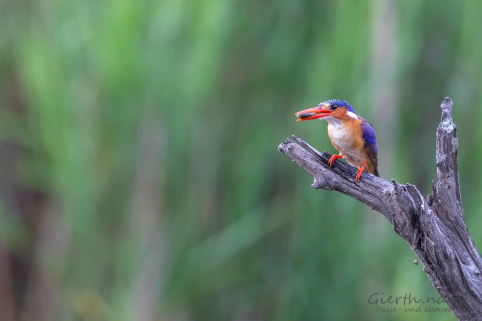 Haubenzwergfischer - Malachite Kingfisher - Corythornis cristatus - Marcel Gierth
