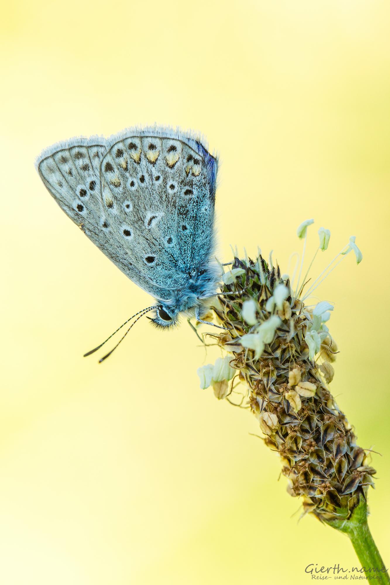 Hauhechel Bläuling - Polyommatus icarus