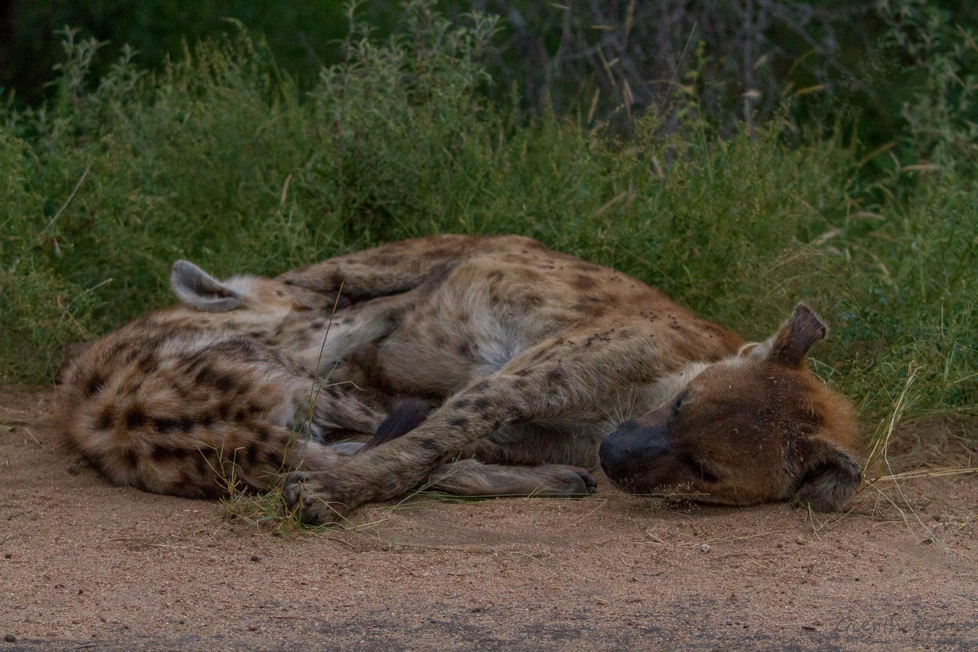 Tüpfelhyänen in Krüger Park in Südafrika