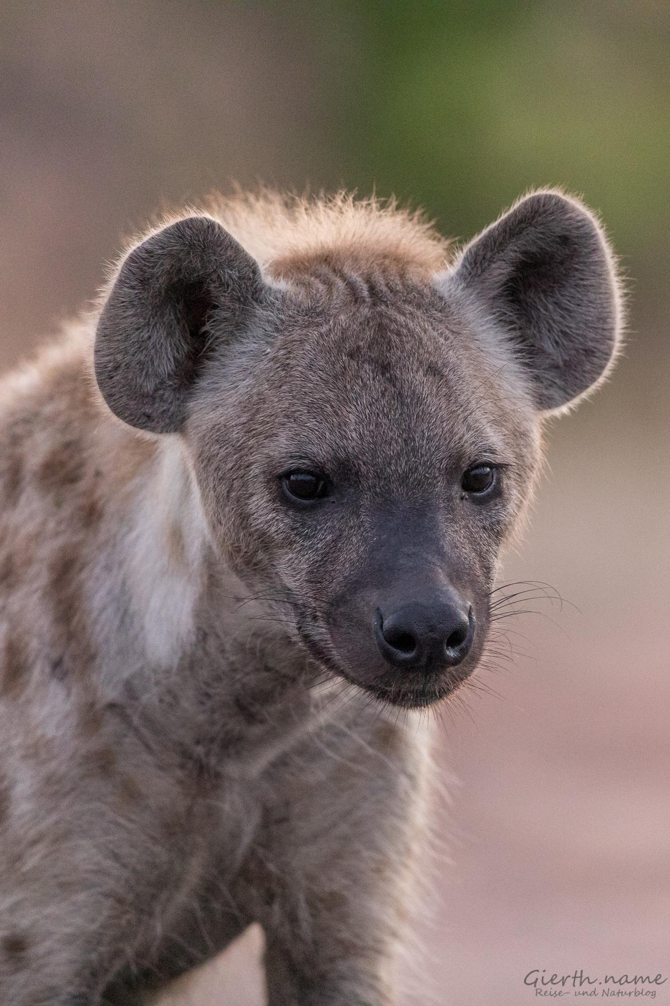 Hyäne auf dem Weg zum Mopani Camp