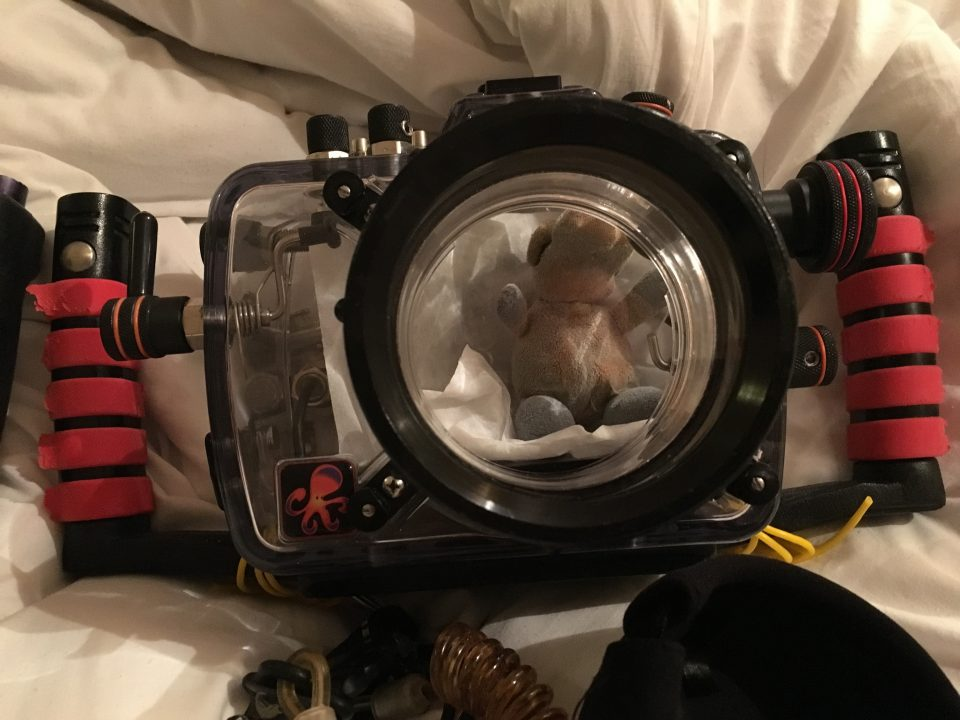 Schweinchen vor dem Check-Dive