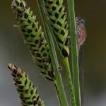 Pechlibelle f. rufescens
