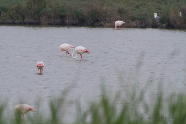Rosa-Flamingos